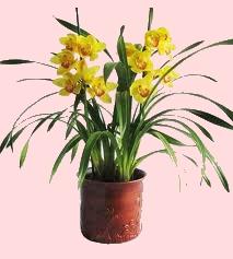 Beautiful Foto Pianta Di Orchidea Cymbidium